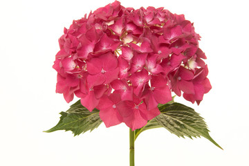 Pink hortensia flower isolated on a white background