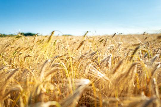 Golden yellow barley field