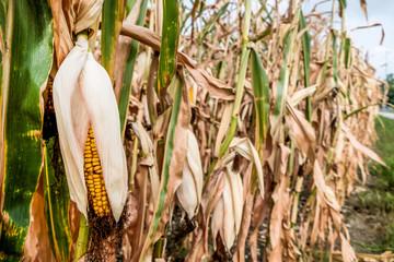 Dürreschäden und Ernteausfälle in der Landwirtschaft