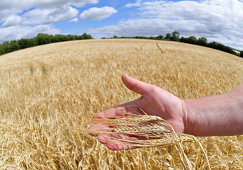 Farmer David Barton holds an example of his barley crop in his hand at Manor Farm in Middle Duntisbourne in south west Britain