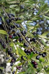 reife Oliven am Olivenbaum (Olea europaea)