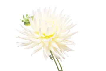 White flower dahlia isolated on white background. Flat lay, top view