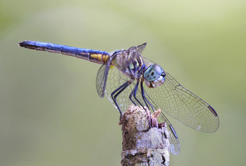 Focus Stacked Close-up Image of a Blue Dasher Dragonfly
