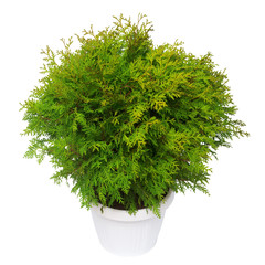 Thuja occidentalis danica isolated on white background. Coniferous trees. Flat lay, top view