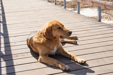 a stray dog on a wooden bridge