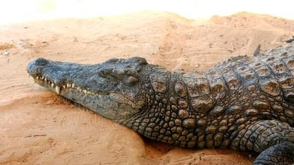 Poster Crocodile erwachenes krokodil / nilkrokodil makro nahaufnahme