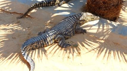 Acrylic Prints Crocodile erwachsenes krokodil im schatten unter palmen in afrika