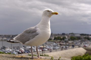 Closeup herring gull (Larus argentatus) perched on a wall with the town of Saint-Malo in the background, in Brittany in France