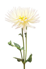 White and yellow flower dahlia isolated on white background. Flat lay, top view