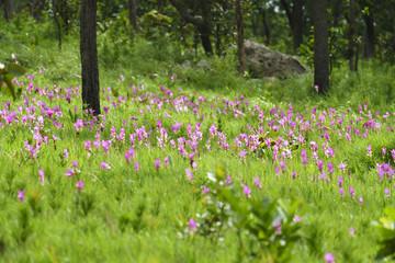 Pink Krachai flowers blooming in season with sunshine grow in Chaiyaphum, Thailand.