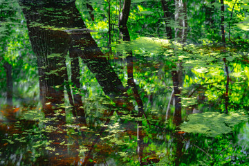Reflections from a pond in an old growth maritime forest in North Carolina
