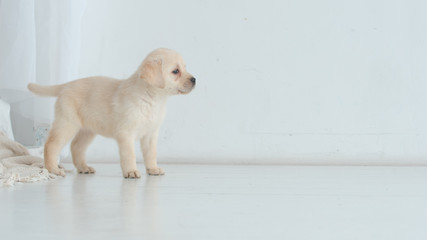 Labrador puppy indecisively looks to side