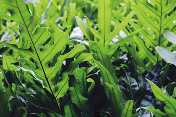 The wart fern of Hawaii or Maile-Scented Fern green leaves background