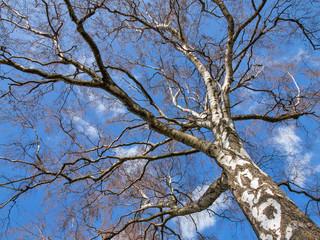 Baumkrone einer großen alten Birke