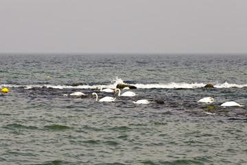 Swans flowing in marine waters