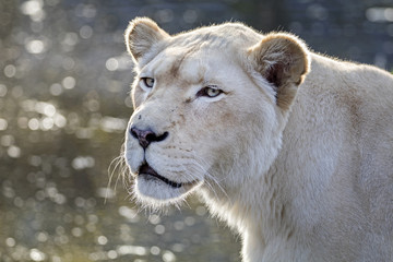 White lioness portrait