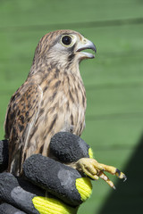 bird ringing - common kestrel (Falco tinnunculus)