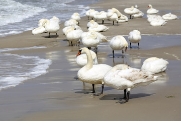 A group of swans on the beach