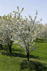 Fruit trees in full bloom in spring
