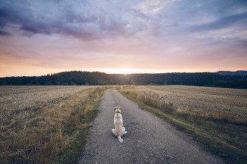 Loyal dog waiting at sunset
