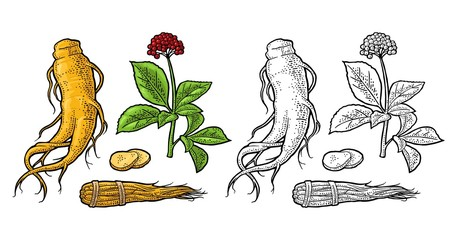 Root and leaves panax ginseng. Vector engraving illustration