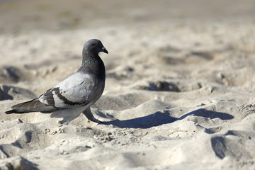 A lonely dove walks on the beach