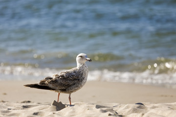 Baltic sea beach and lonely seagull