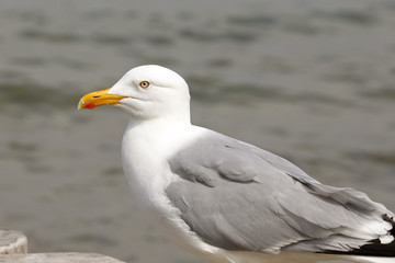 One seagull against sea water background
