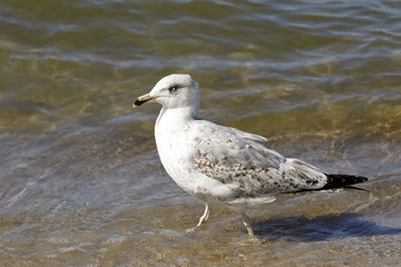 Seagull is walking in shallow water of the sea