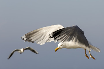 Two gulls in flight