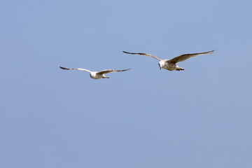 Two seagulls is in flight