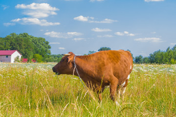 Cow grazing in a meadow. Cattle standing in field eating green grass