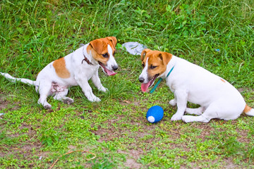 Jack Russell look at each other