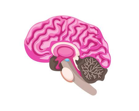 Healthy Brain Anatomy Internal Human Organ Illustration