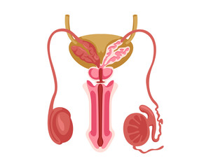 Healthy Male Reproductive Internal Human Organ Illustration In Isolated White Background