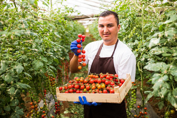 Farmer man demonstrate the ripe of collects cherry tomatoes with scissors harvest in wooden boxes in the greenhouse family business