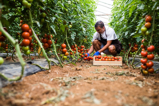Attractive happy male farmer working in greenhouse. Agriculture harvest.