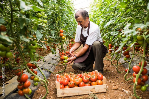 Mature man picking red cherry tomatoes harvest in greenhouse