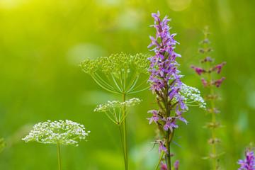 fiore di montagna