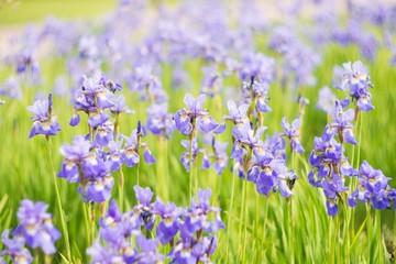 Iris flowers, summer field, outdoor. Background