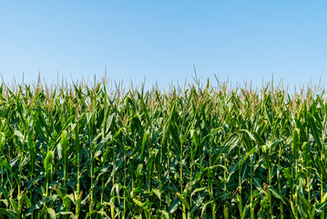 Corn stalks in a field with clear blue sky