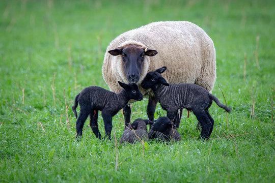 A black faced suffolk ewe sheep with her four black newborn lambs