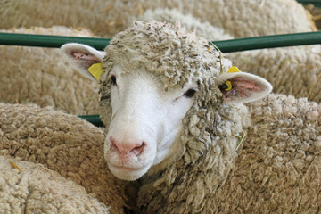 Sheep in animal farm