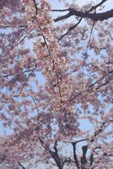 桜 春 素材