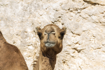 Dromedary portrait in the sultanate of Oman