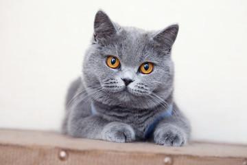 British shorthair cat, domestic cat, neutered cat in a blanket Fotoväggar