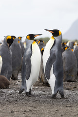 Endangered pair of King Penguins in Antarctica within a colony standing proud and upright.
