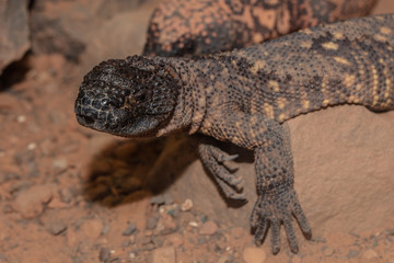 Gila monster is watching you approach