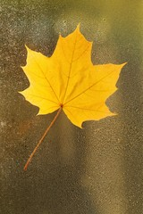 Autumn leaf on the glass. maple yellow  leaf on a misted window. Autumn mood.Autumn season.