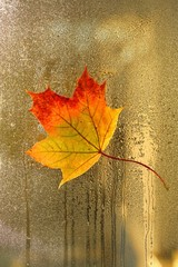 Autumn leaf on the glass. maple yellow orange leaf on a window. Autumn mood.Autumn season.